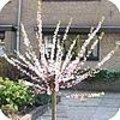 Prunus dulcis / amandel