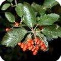 Sorbus aria - meelbes