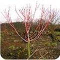 Acer pens. 'Erythrocladum' - koraalesdoorn