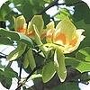 Bomen: tulpenboom of de Liriodendron tulipifera