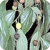 Celtis australis of netelboom ook zwepenboom is een schaduwboom die vaak als parkboom wordt geplant