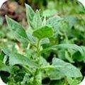 Nieuw-Zeelandse spinazie