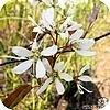 Amelanchier lamarckii of krentenboompje is altijd mooi met bloemen, bessen of gekleurde bladeren