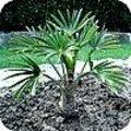 Trachycarpus fortunei en Trachycarpus wagnerianus