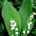 Lelietjes van dalen of meiklokjes - Convallaria majalis