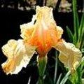 Irissen: soorten en eigenschappen