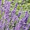 Lavendel - Lavandula officinalis gebruiken in de keuken als lavendelsuiker, lavendelhoning