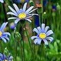 Felicia of blauwe margriet is een mooie kuipplant die je makkelijk kan stekken