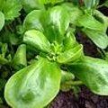 Postelein - Portulaca oleracea: zaaien, opkweken en oogsten van postelein in de tuin