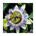 Passiflora caerulea - passiebloem / passievrucht