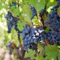 Maand 10 - oktober: de wijnmaand.