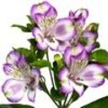 Alstroemeria Hawaiian Dream is een incalelie met zeer grote bloemen