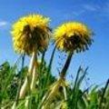 Tuinsfeer: Paardebloem onkruid of bloem