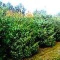 Picea omorika of Servische spar