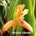 Maxillaria orchideeën
