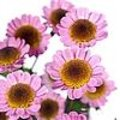 Chrysanthemum Madiba Sambu Eye