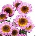 Chrysanthemum Madiba Sambu Eye: een nieuwe snijchrysant