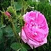 Rosa 'Cristata' - Mosroos of 'Crested Moss', Chapeau de Napoleon, R. Centifolia cristata, Crested Rose de Provence