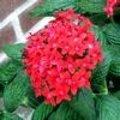 Pentas lanceolata als kuipplant, perkplant of zelfs als kamerplant