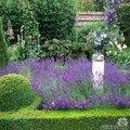 Lavandula angustifolia - lavendel