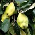Fruit: kweepeer of Cydonia oblonga