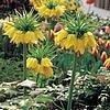 Fritillaria imperialis of keizerskroon houdt mollen op een afstand