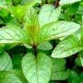 Mentha piperita - pepermunt en andere soorten munt