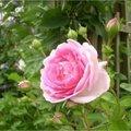 Klimrozen in bloei in juni