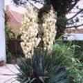 Yucca filamentosa - Palmlelie
