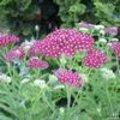 Achillea millefolium Cerise Queen