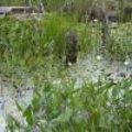 Moeras- en oeverplanten