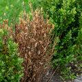 Buxusziektes met bladval en taksterfte