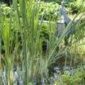 Moerasplanten en oeverplanten