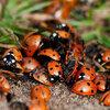 Nuttige insecten zoals lieveheersbeestjes, spinnen, gaasvliegen, oorwormen,...
