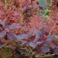 Bloemstukken met Cotinus coggygria of pruikenboom - Soorten bloemstukjes maken