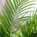 Areca als kamerplant in januari