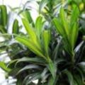 Dracaena kamerplant van de maand februari