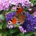 Foto van een dagpauwoog en andere tuinfoto's