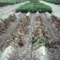 Opgelet voor aardappelplaag in juli