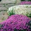 Muurbloemen Aubrieta en Saxifraga