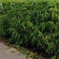 Bamboe of taboe?