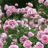 Rozen zonder zorgen: klimrozen, geurende rozen en rozen voor de border