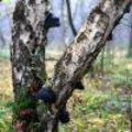 Paddenstoelentijd – schadelijke zwammen voor bomen