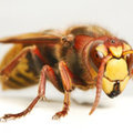 Grote vliegen, grote wespen.