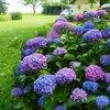 Tien dingen die je moet weten over hortensia's