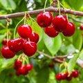 fruitbomen insecten
