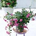 Non-stop bloemen met Mandevilla