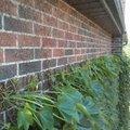 Klimop tegen een muur