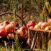 Pluktips om nu al te genieten van heerlijke appels