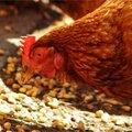 Vogelgriep: verhoogd risico!